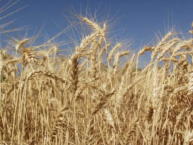 پاورپوینت بررسی علف های هرز مزارع گندم
